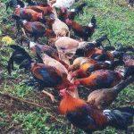 Panduan Lengkap Ternak Ayam Kampung Agar Menguntungkan
