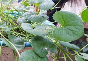 Khasiat dan Manfaat Pegagan Untuk Pengobatan Herbal