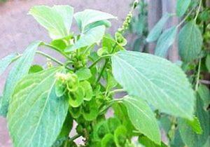Khasiat dan Manfaat Tumbuhan Anting-anting Untuk Obat Koreng