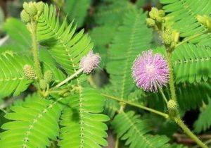 Khasiat dan Manfaat Putri malu Untuk Obat Herbal