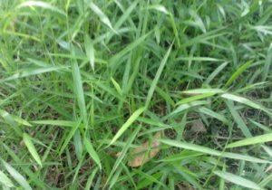 Khasiat dan Kegunaan Rumput Bambu Untuk Obat