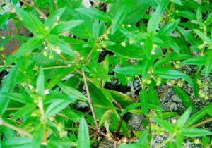 Manfaat dan Khasiat Rumput Mutiara Untuk Obat Herbal