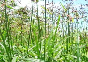Manfaat dan Khasiat Rumput Teki Untuk Obat Herbal Tradisional