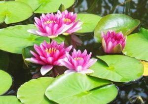 Khasiat Bunga Teratai Untuk Pengobatan Herbal