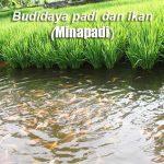 Tips Cara Budidaya Padi dan Ikan (MINAPADI) serta Kelebihan dan Keuntungannya