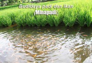Cara Budidaya Minapadi Yang Baik dan Menguntungkan