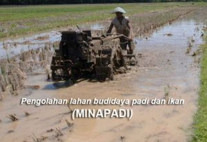 Cara Mengolah Lahan Budidaya Minapadi