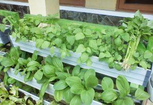 Tips Cara Tanam Sayur di Pipa dan Talang Air