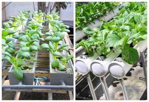 Cara Berkebun Menggunakan Pipa Paralon