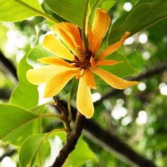 Kandungan Kimia dan Khasiat Bunga Cempaka Kuning