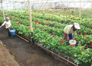 Tips Sukses Budidaya Bunga Potong Gerbera