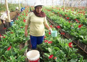Cara Budidaya Bunga Gerbera Yang Baik dan Benar