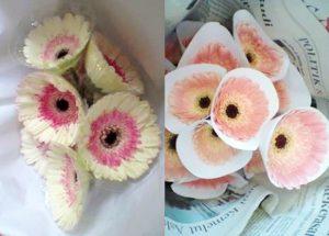 Panduan Lengkap Cara Budidaya Bunga Gerbera