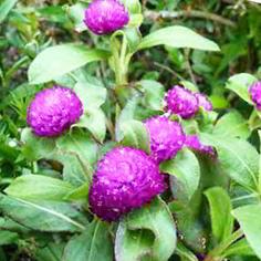 Kandungan Kimia Bunga Kenop Beserta Gambar dan Khasiatnya
