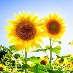 Kandungan Kimia Bunga Matahari Serta Gambar dan Khasiatnya