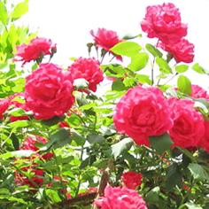 Kandungan Kimia Bunga Mawar Serta Gambar dan Khasiatnya