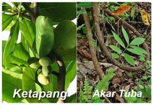 Membuat Pestisida Nabati Untuk Ulat Menggunakan Daun Ketapang dan Akar Tuba