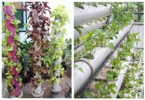 Teknik Menanam Sayur di Pipa Paralon PVC