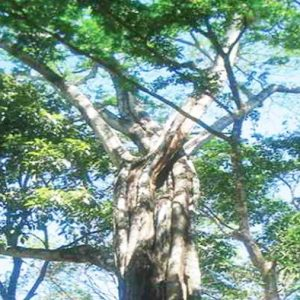 Kandungan Kimia dan Khasiat Pohon Balsem