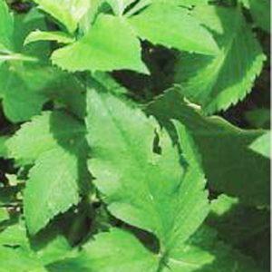 Kandungan dan Khasiat AJERAN Untuk Obat Herbal