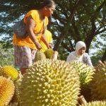 Mengenal Jenis-jenis DURIAN UNGGUL Asli Indonesia