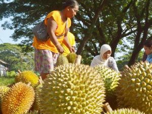 Jenis-jenis Varietas Durian Unggul Asli Indonesia