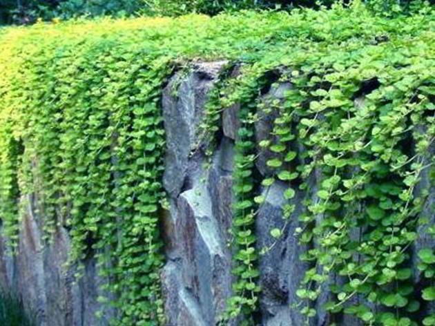 9 Tanaman Hias Untuk Taman Dinding Vertikal Terpopuler Beserta Gambarnya