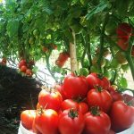 Cara Mudah Menanam Tomat