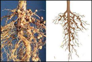 Manfaat Bakteri Rhizobium dan Cara Inokulasinya