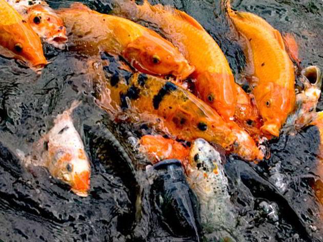 10 Tips Budidaya Ikan Mas Agar Cepat Besar Dan Menguntungkan