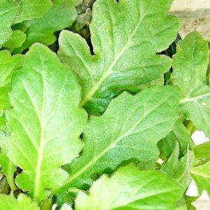 Manfaat dan Khasiat Daun Dewa Untuk Obat Herbal