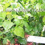 Khasiat Daun KARUK (Kaduk) dan Cara Menggunakannya Untuk Pengobatan Herbal