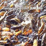 Cara Mengendalikan HAMA PENYAKIT Ikan Mas