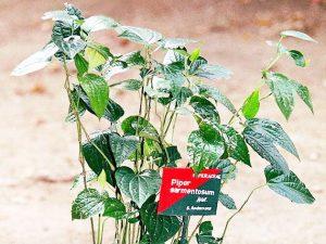 Cara Membuat Resep Herbal Daun Kaduk/Karuk