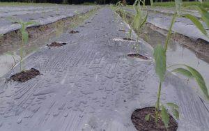 Teknik Bertanam Cabai Dimusim Hujan