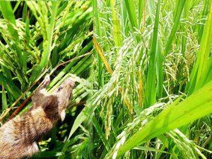 Cara Ampuh Mengendalikan Hama Tikus Sawah