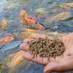 Memanfaatkan Kotoran Ternak Sebagai PAKAN IKAN Untuk Menekan Biaya Produksi