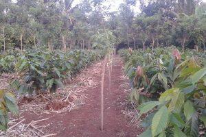 Jarak Tanam Ideal Pohon Pelindung Tanaman Kakao