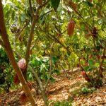 Iklim dan Syarat Tumbuh Ideal Tanaman KAKAO