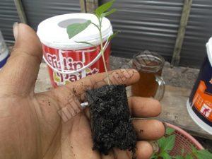 Gambar 3 : Cara menanam bibit cabai rawit hidroponik
