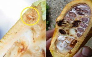 Gejala serangan hama penggerek buah kakao - Hama PBK