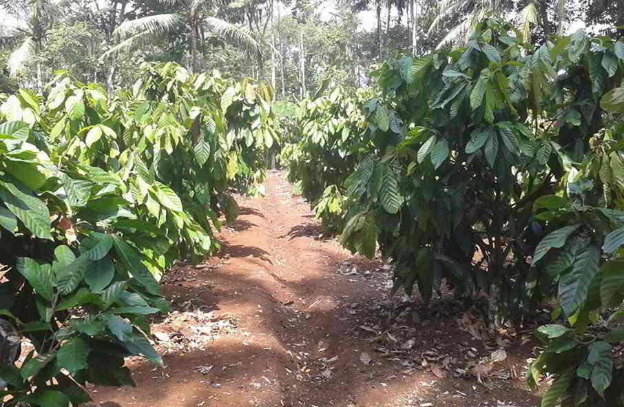 14 Tahap Dan Panduan Lengkap Budidaya Cara Menanam Kakao