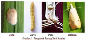 Gambar 2 : penggerek batang padi kuning