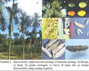Pengendalian Hama PENGGEREK BUNGA Pinang – Batrachedra sp