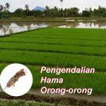 Pengendalian Hama ORONG-ORONG dan Cara Membuat Pestisida Nabati Untuk Hama Orong-orong