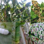 13 Jenis Hama dan Penyakit Utama Tanaman Pisang