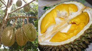 Cara Agar Durian Berbuah Besar dan Berdaging Tebal