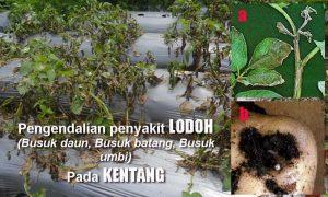 Pengendalian PENYAKIT LODOH (Busuk daun, Busuk batang, Busuk umbi) pada Tanaman Kentang