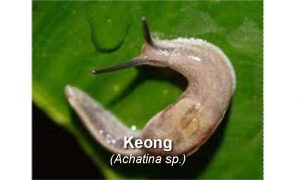 Racun Insektisida untuk Hama Keong pada Kubis