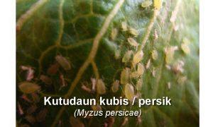 Insektisida Racun Kutu Daun Persik pada Kubis
